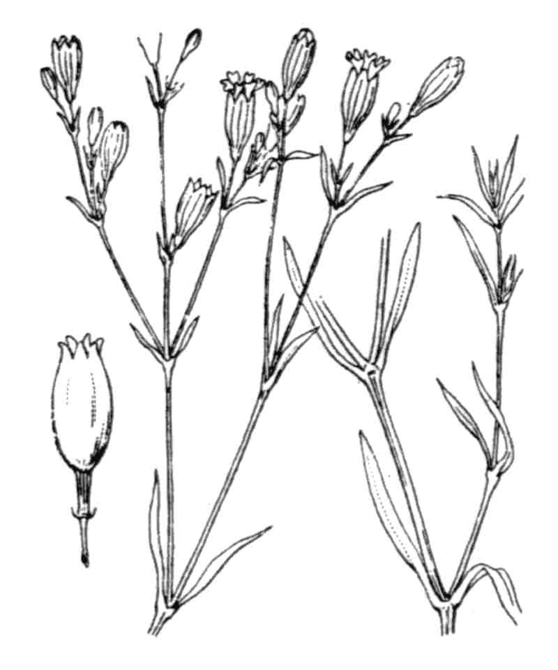 Catchfly, [Closed flowered]