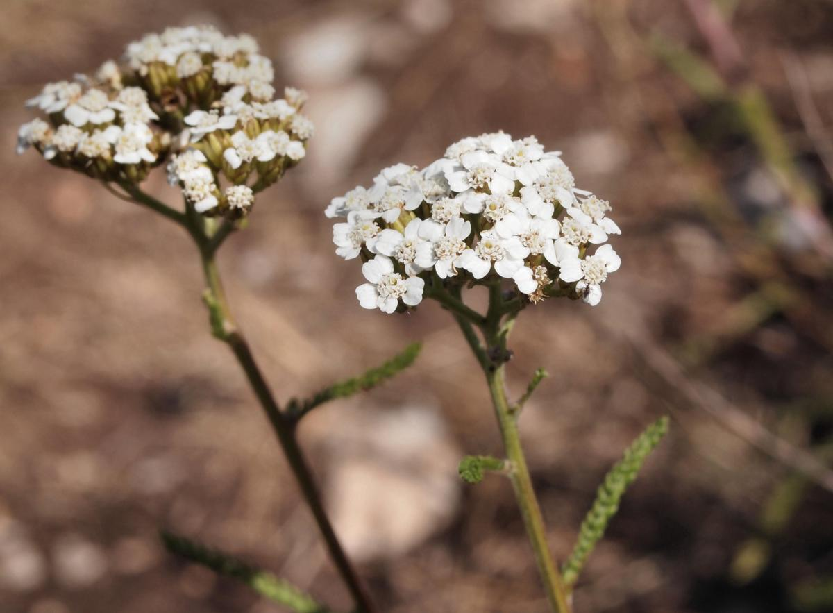 Yarrow, Fragrant flower