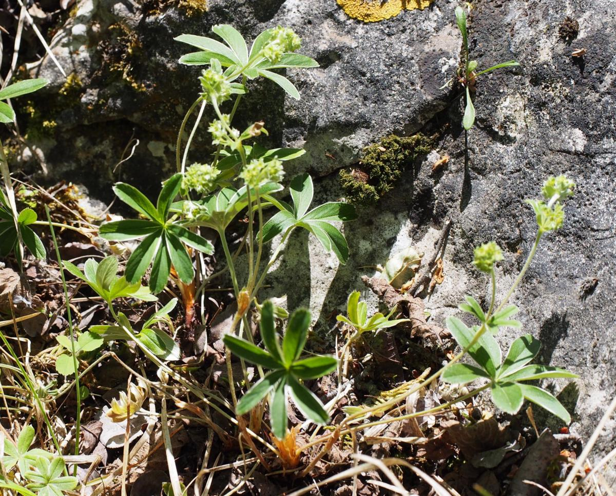 Lady's Mantle, [of the Causse] plant