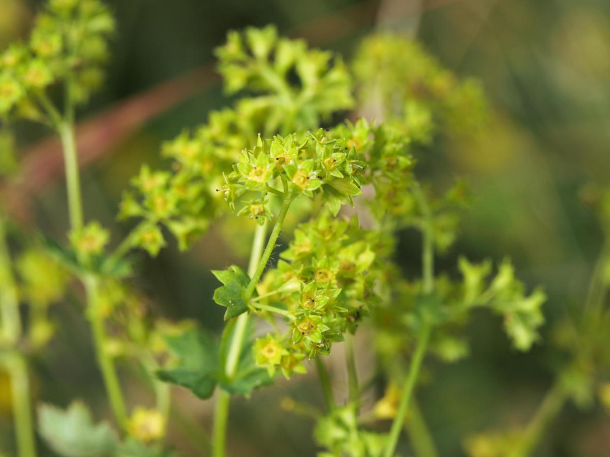 Lady's Mantle, [Yellow-green] flower