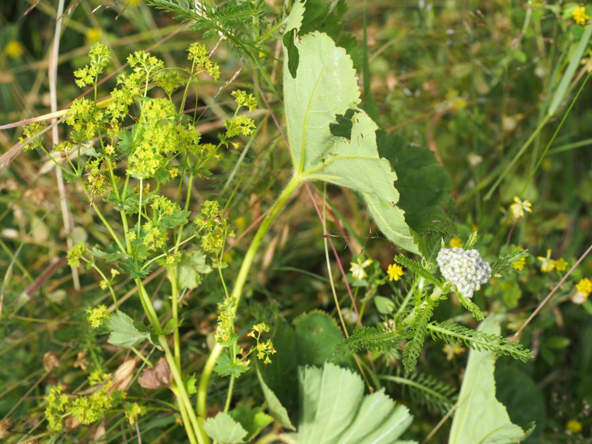 Lady's Mantle, [Yellow-green] plant