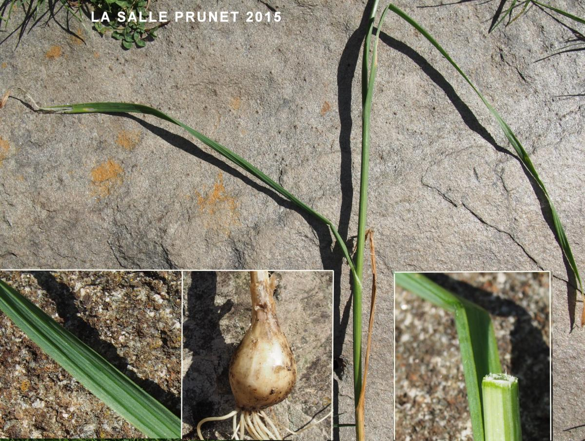 Garlic, (Flexible) leaf
