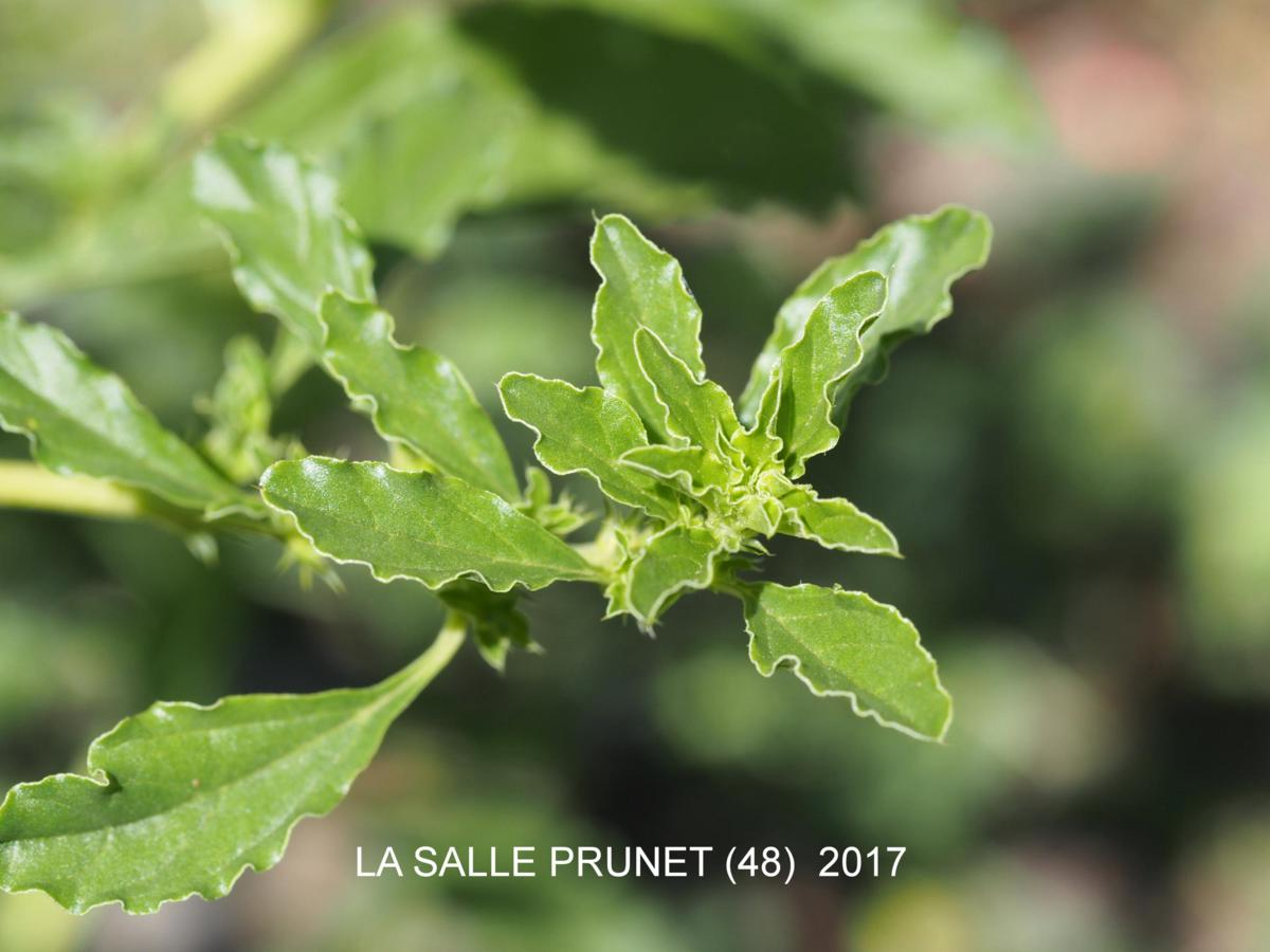 Pigweed, White; Tumbleweed leaf