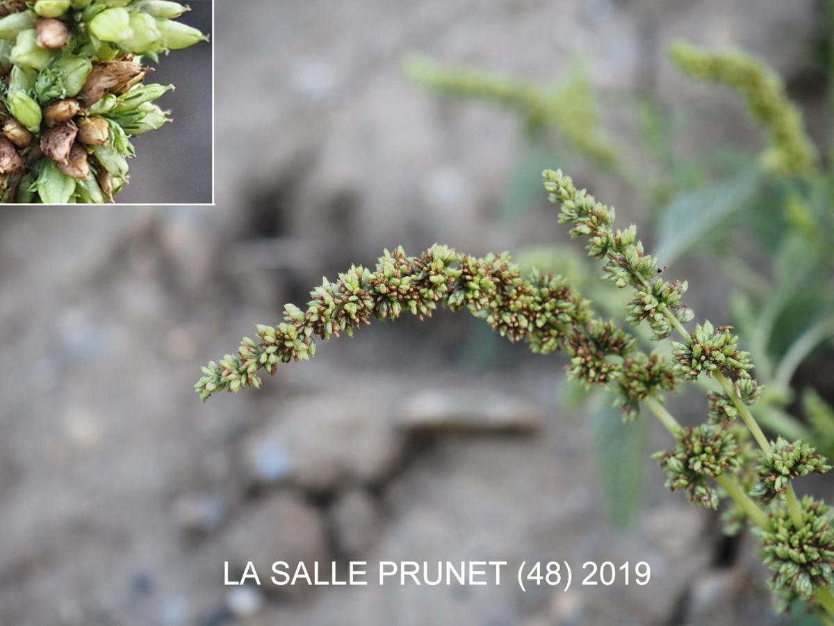 Pigweed, Perennial fruit
