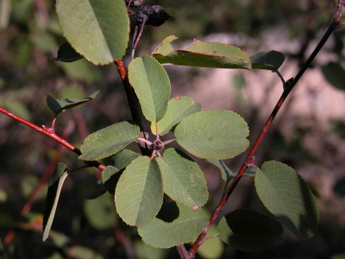 Amelanchier leaf