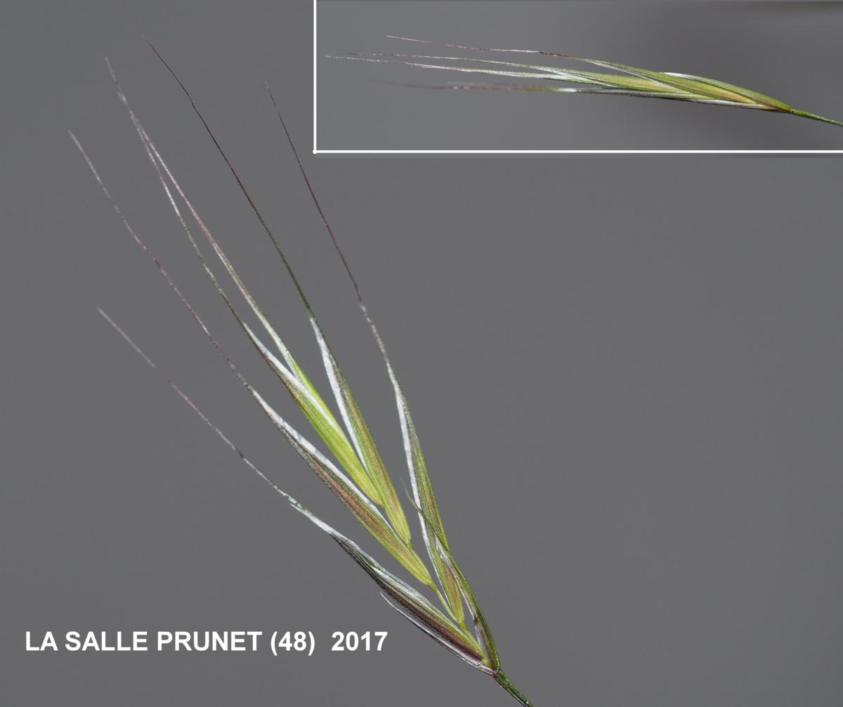 Brome, Barren flower