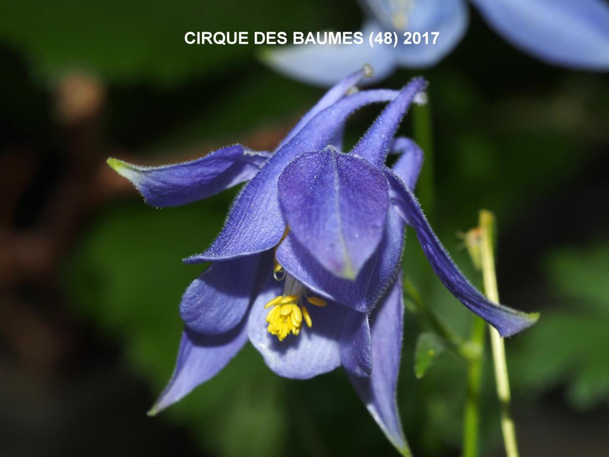 Columbine of the Causse flower