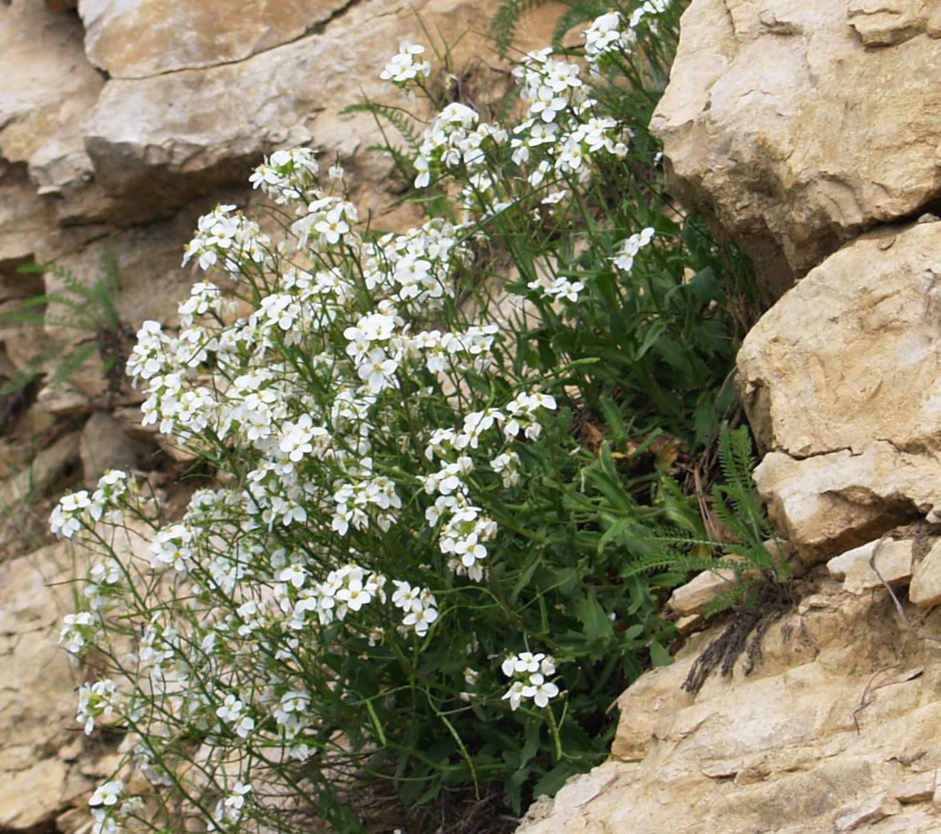 Rock-cress, Alpine