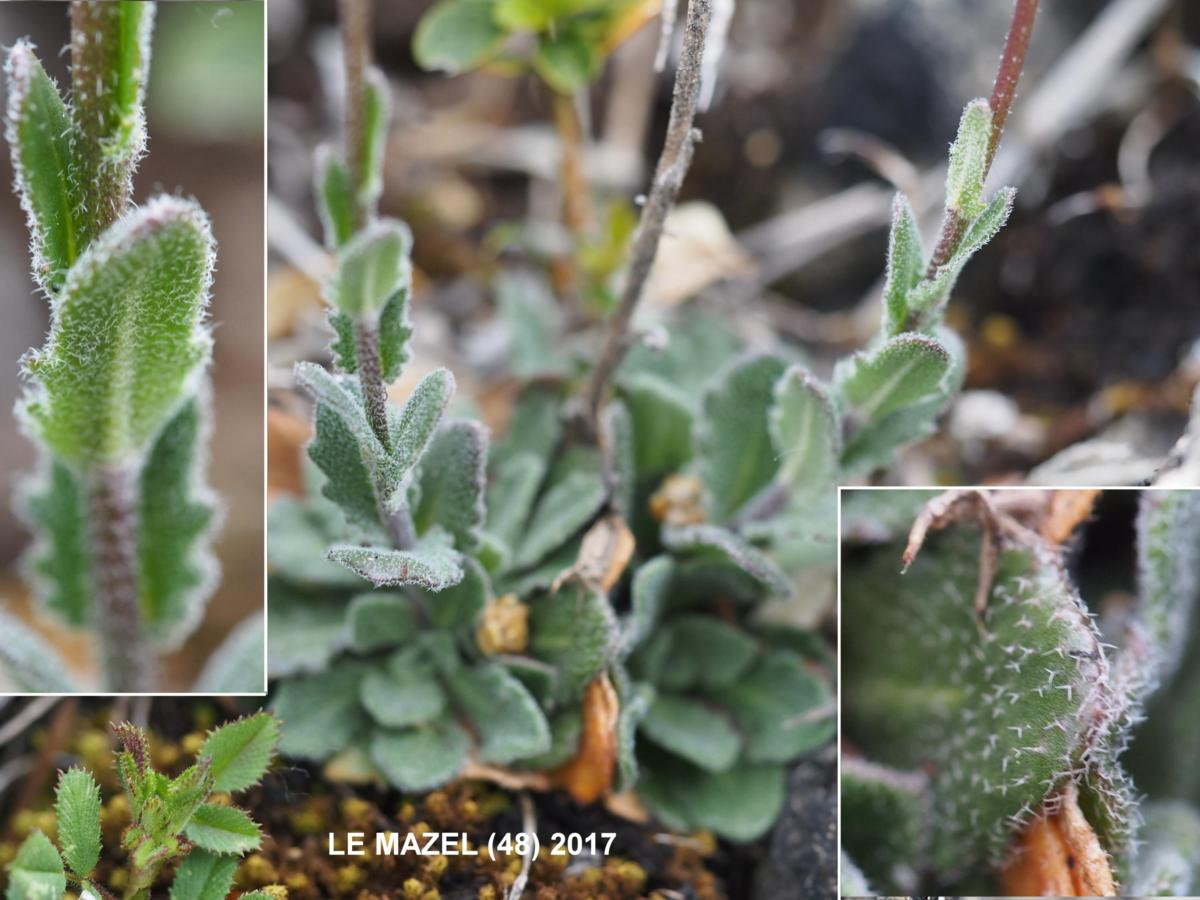 Rock-cress, [Hilly] leaf