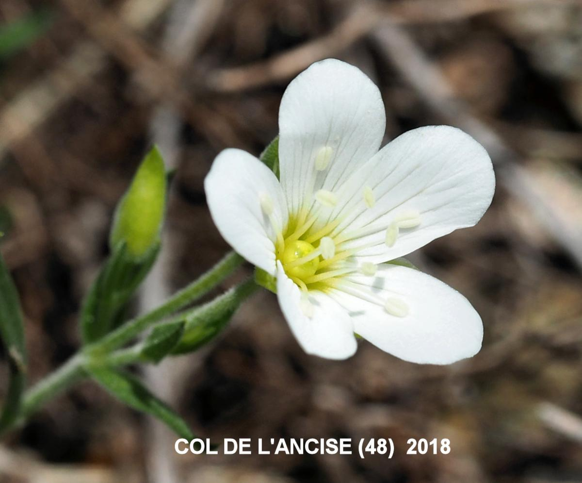 Sandwort, Mountain flower