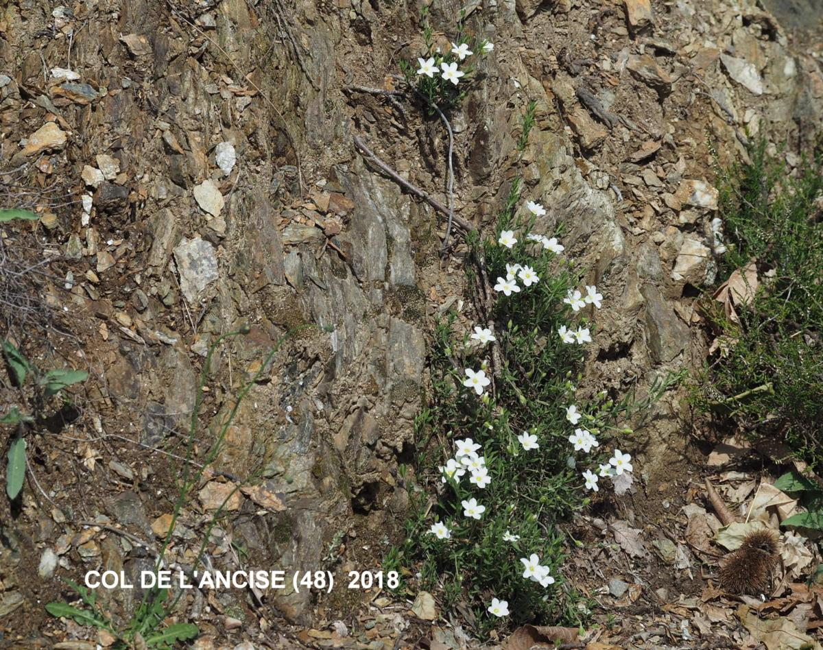 Sandwort, Mountain plant
