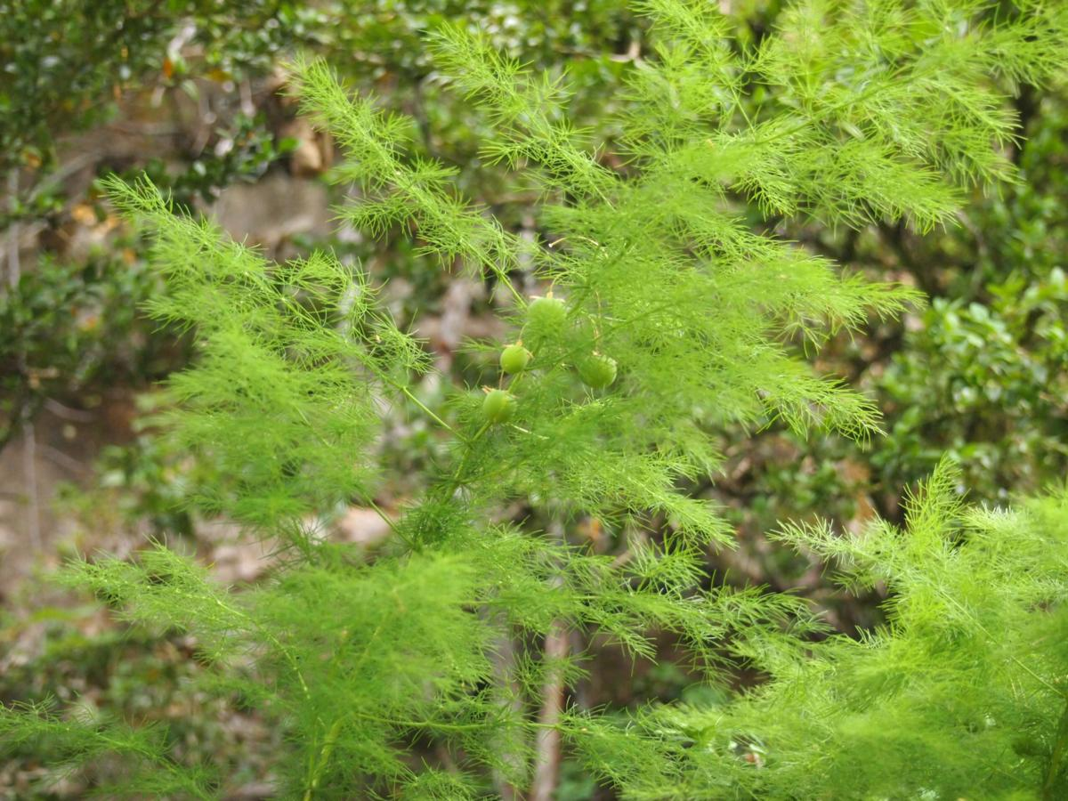 Asparagus, Outstretched leaves plant