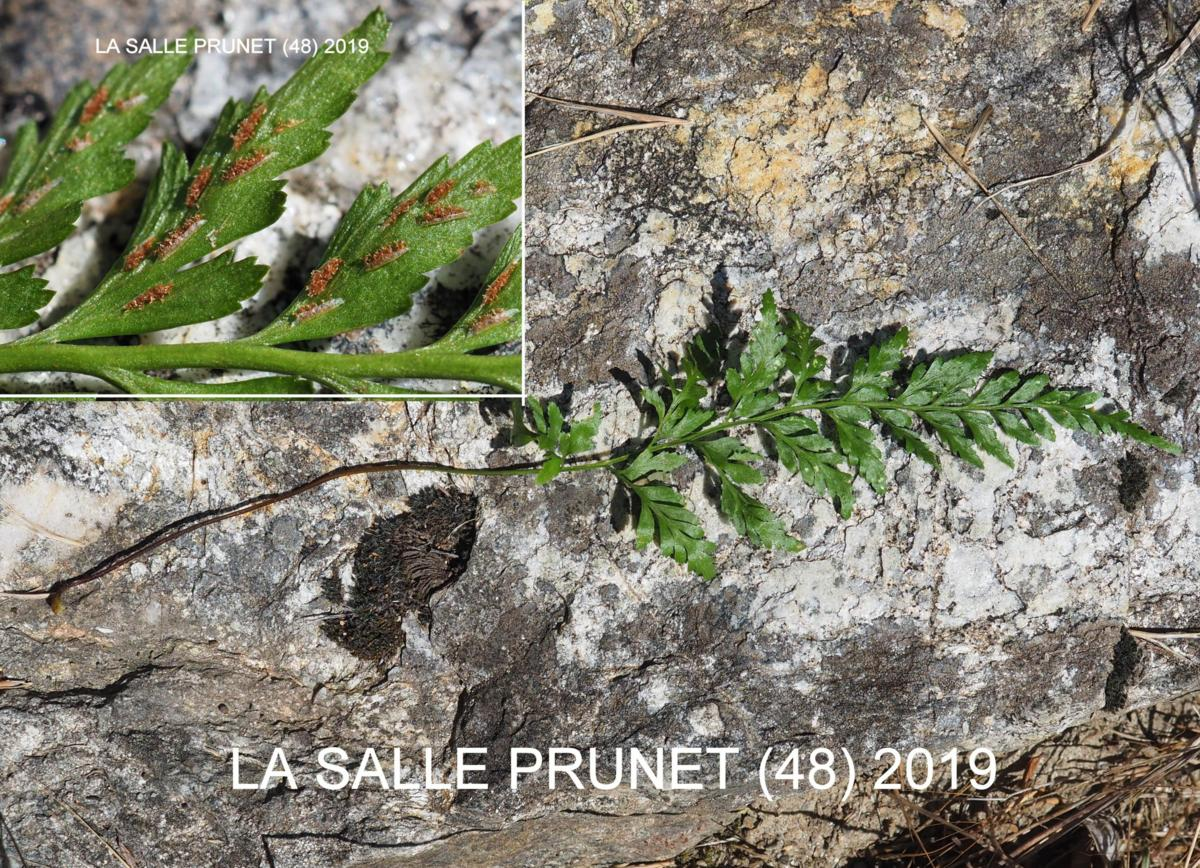 Spleenwort, Black leaf
