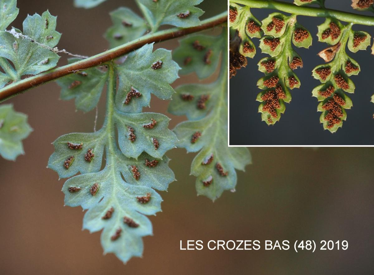 Spleenwort, Lanceolate fruit