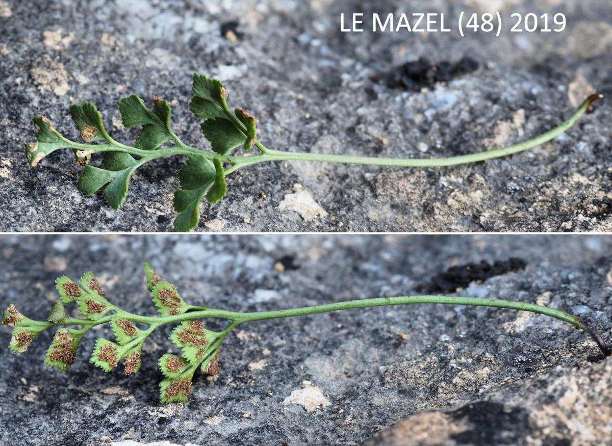 Spleenwort, Southern Rock leaf
