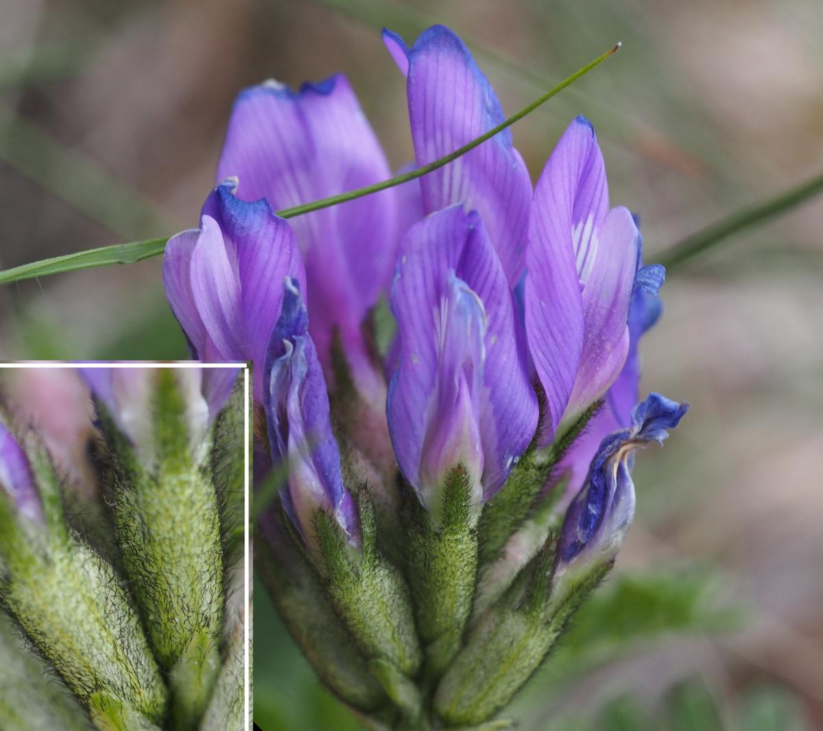 Milk-vetch, (Danish) flower