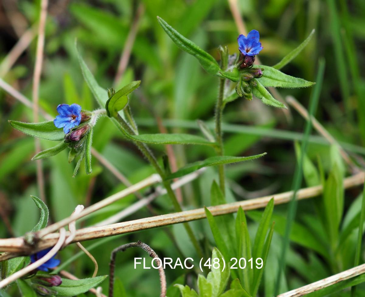 Gromwell, Blue plant