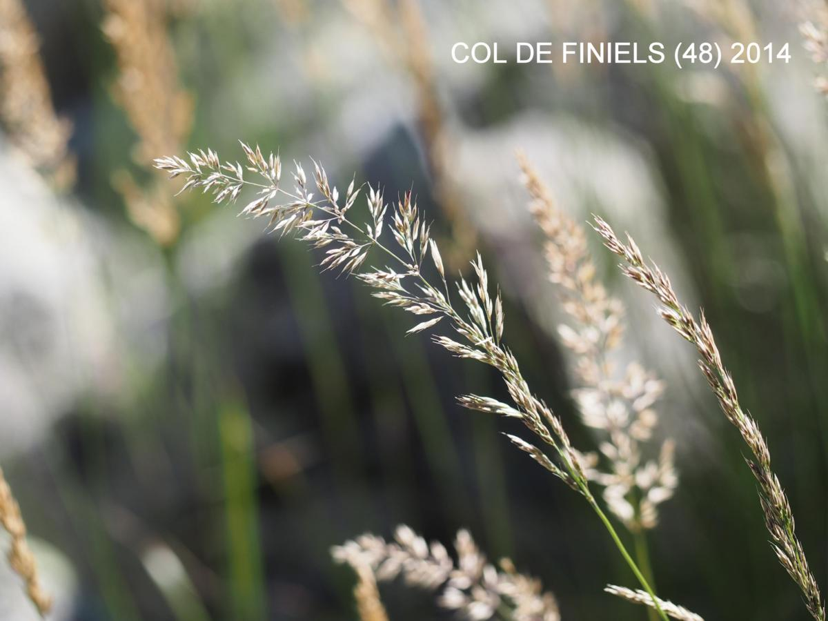 Reed-Grass, Feather flower