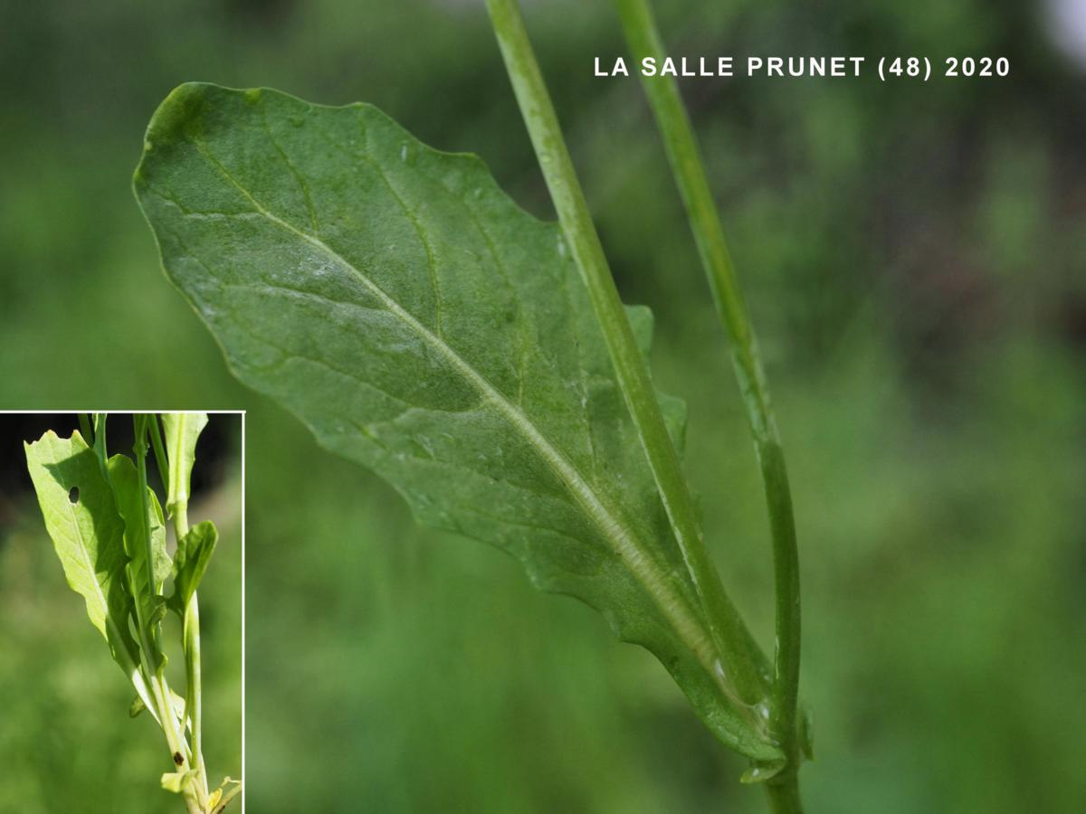 White Ball Mustard leaf