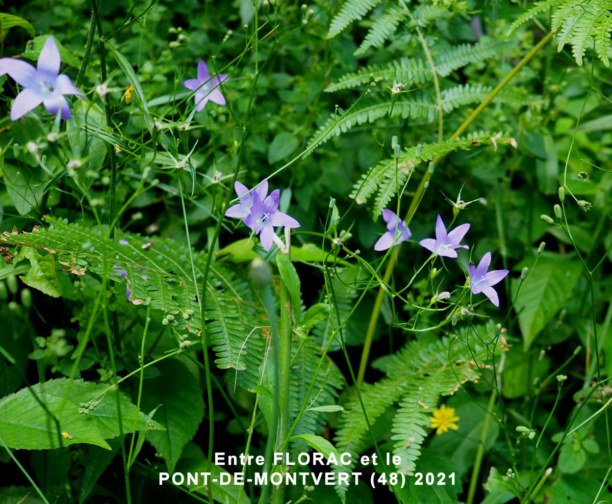 Bellflower, Spreading plant