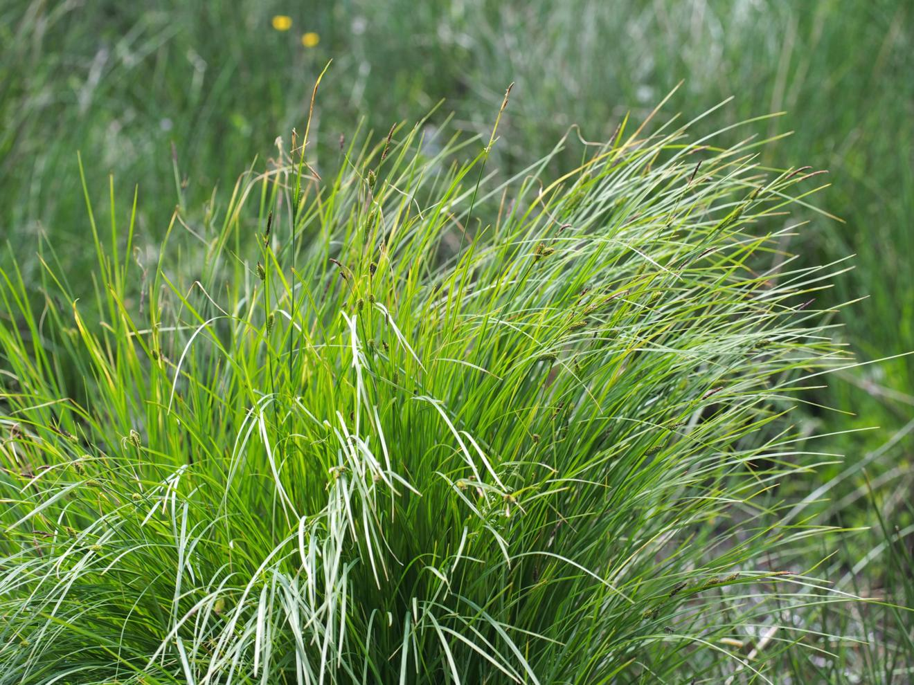 Sedge, Common Black