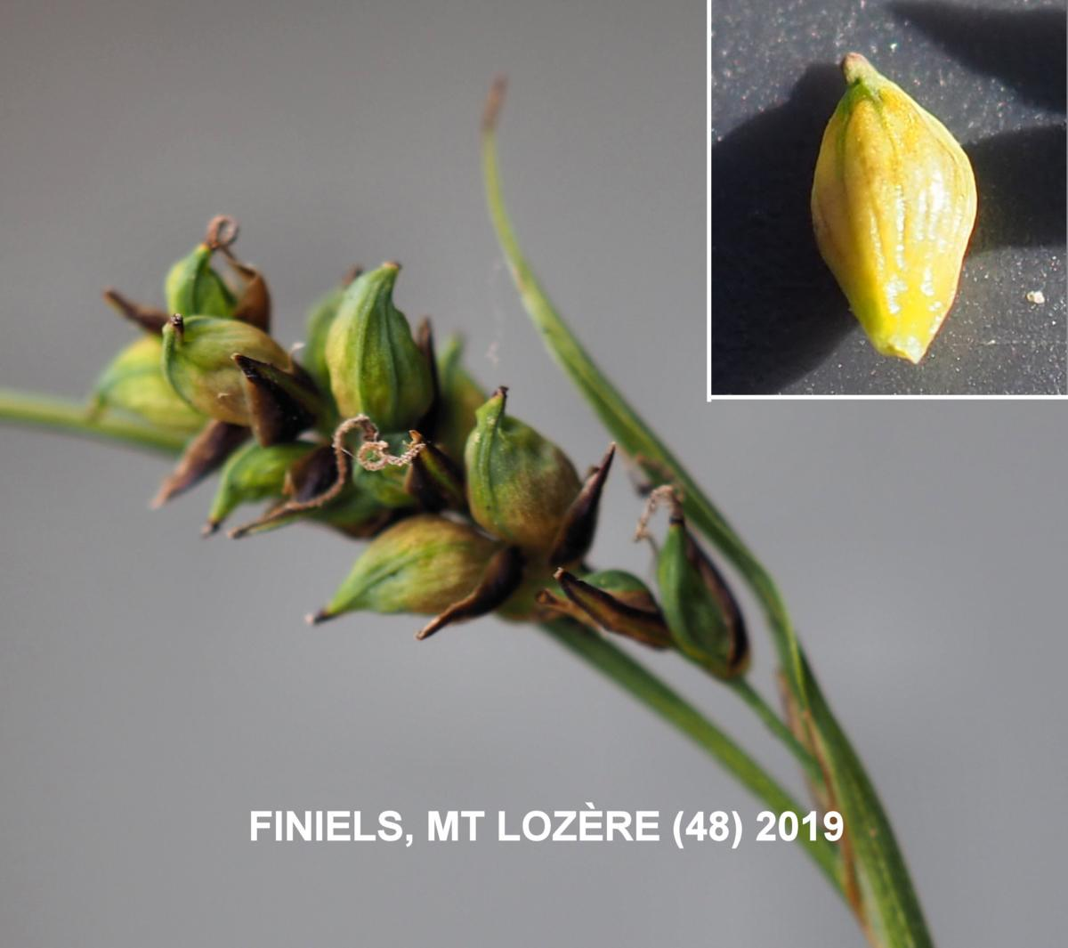 Sedge, Carnation fruit