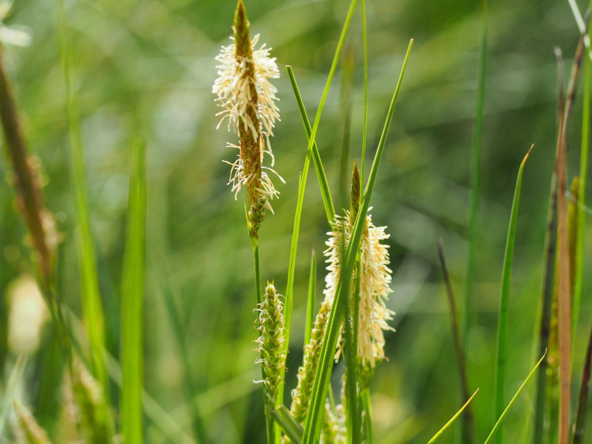 Sedge, Bladder flower