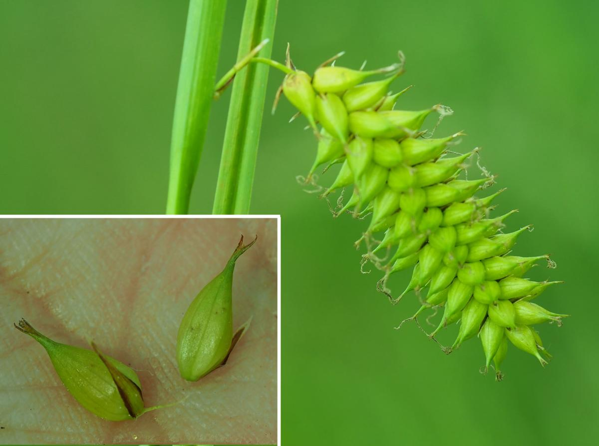 Sedge, Bladder fruit