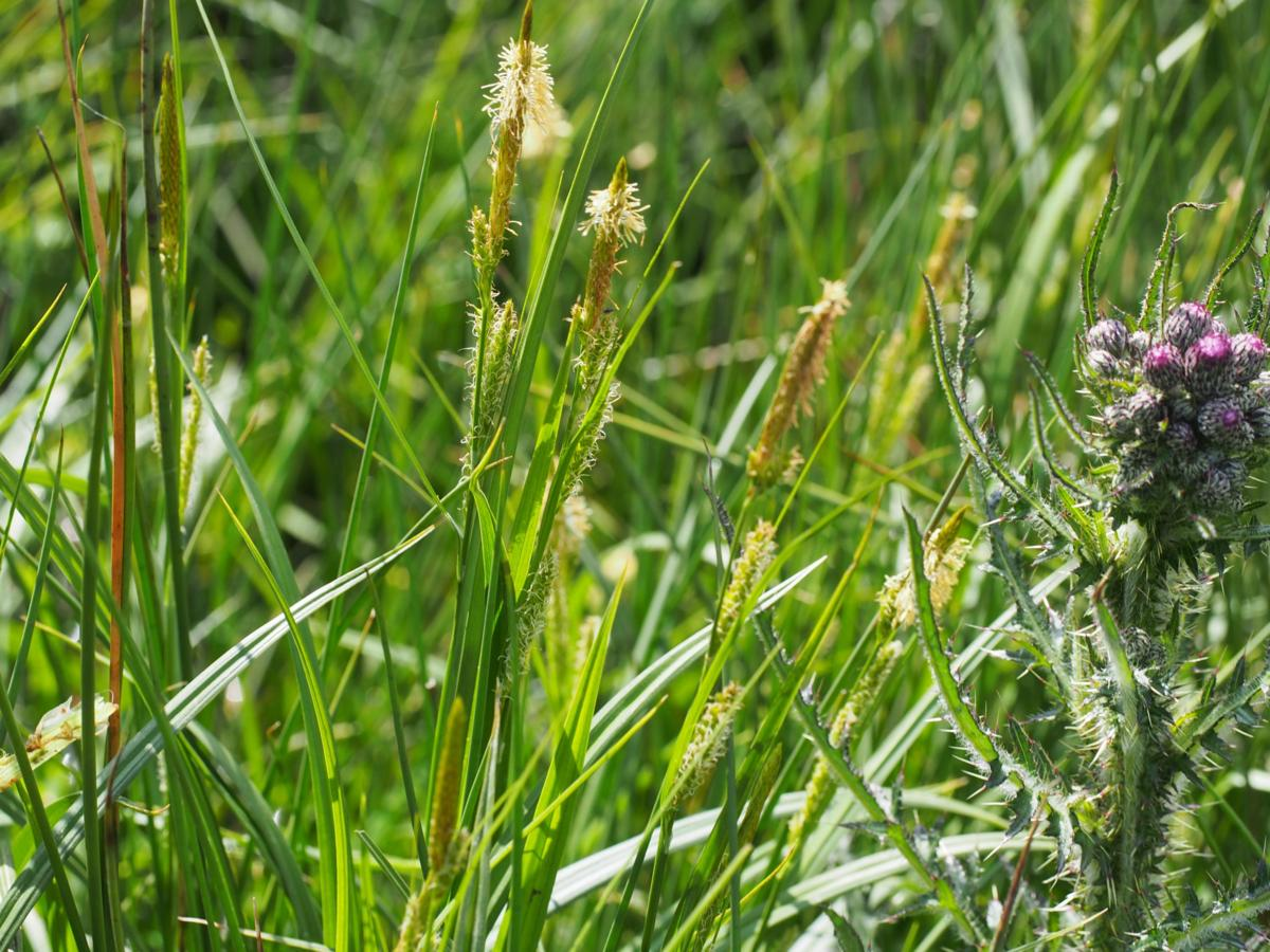 Sedge, Bladder plant