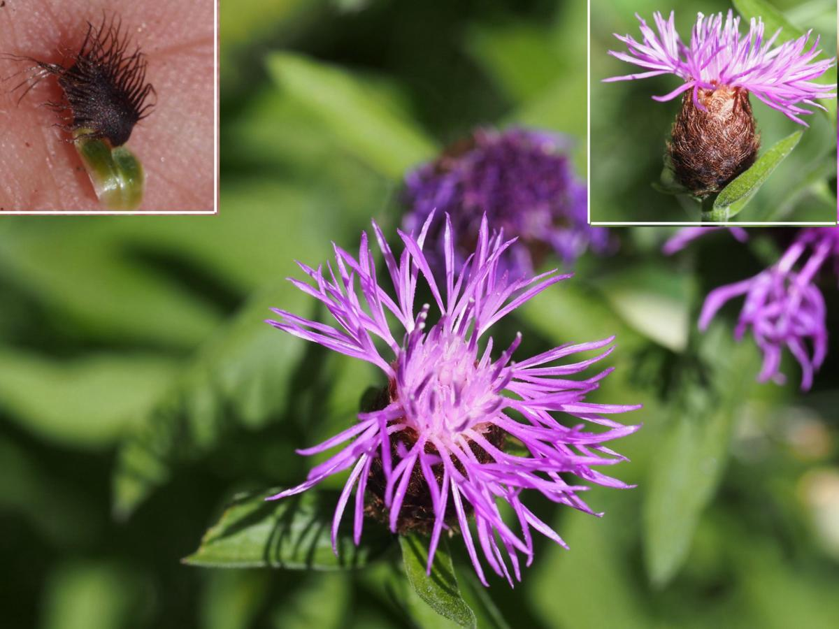 Knapweed [large-flowered]