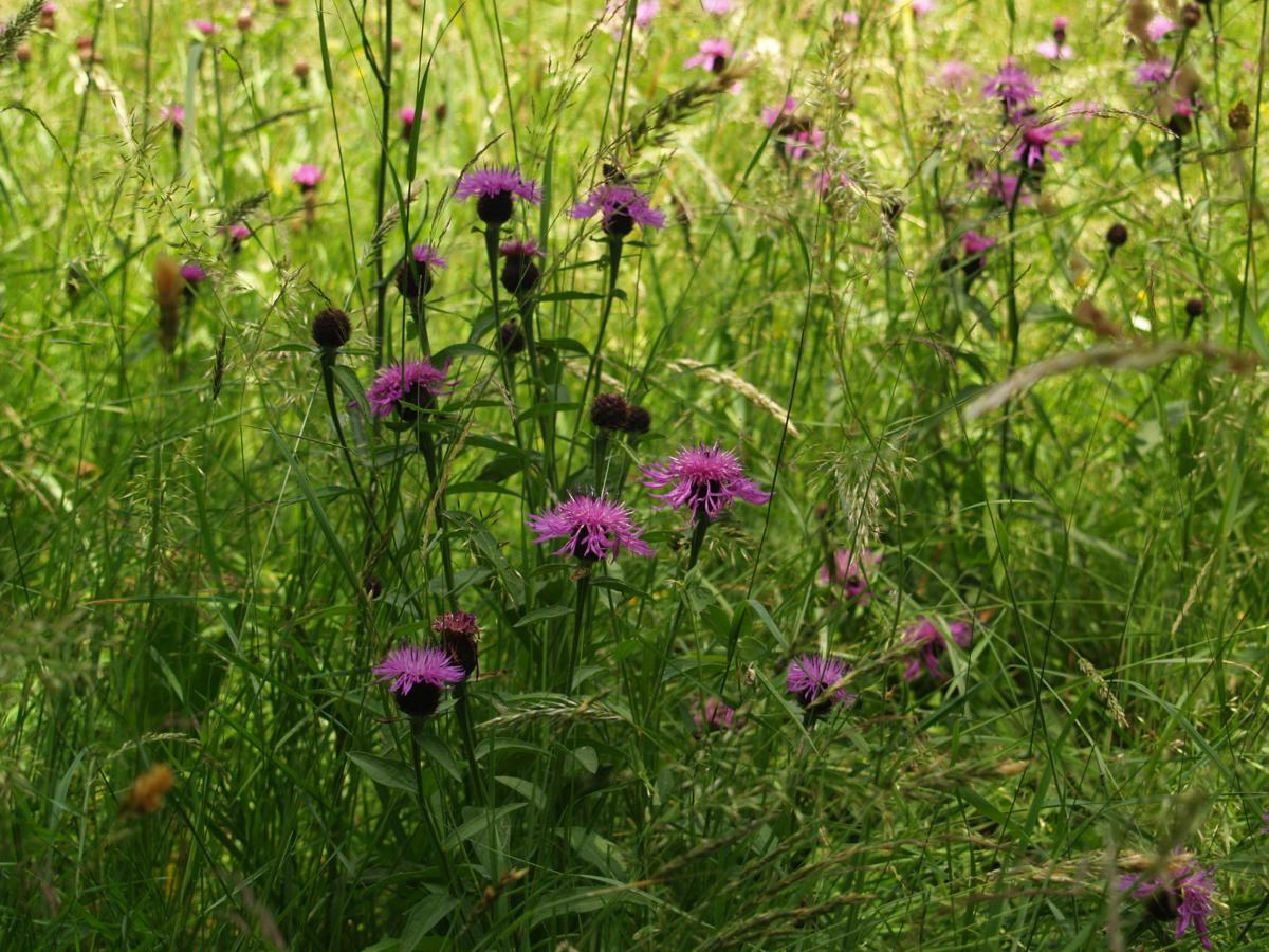Knapweed [large-flowered] plant