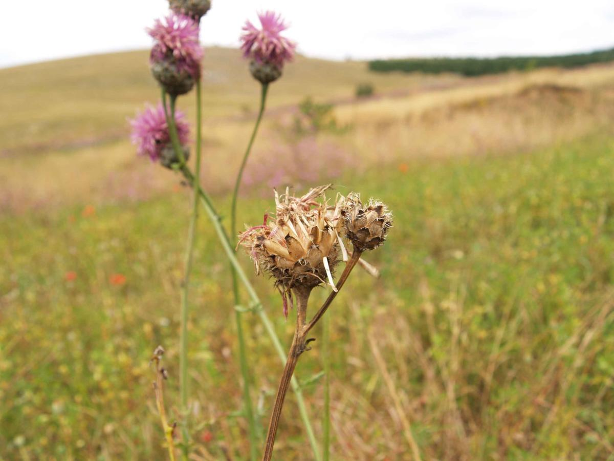 Knapweed, Greater fruit