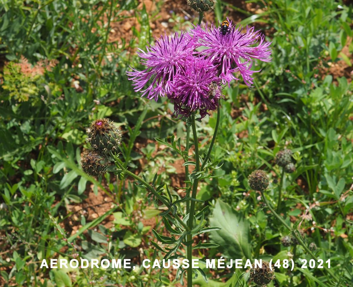 Knapweed, Greater plant