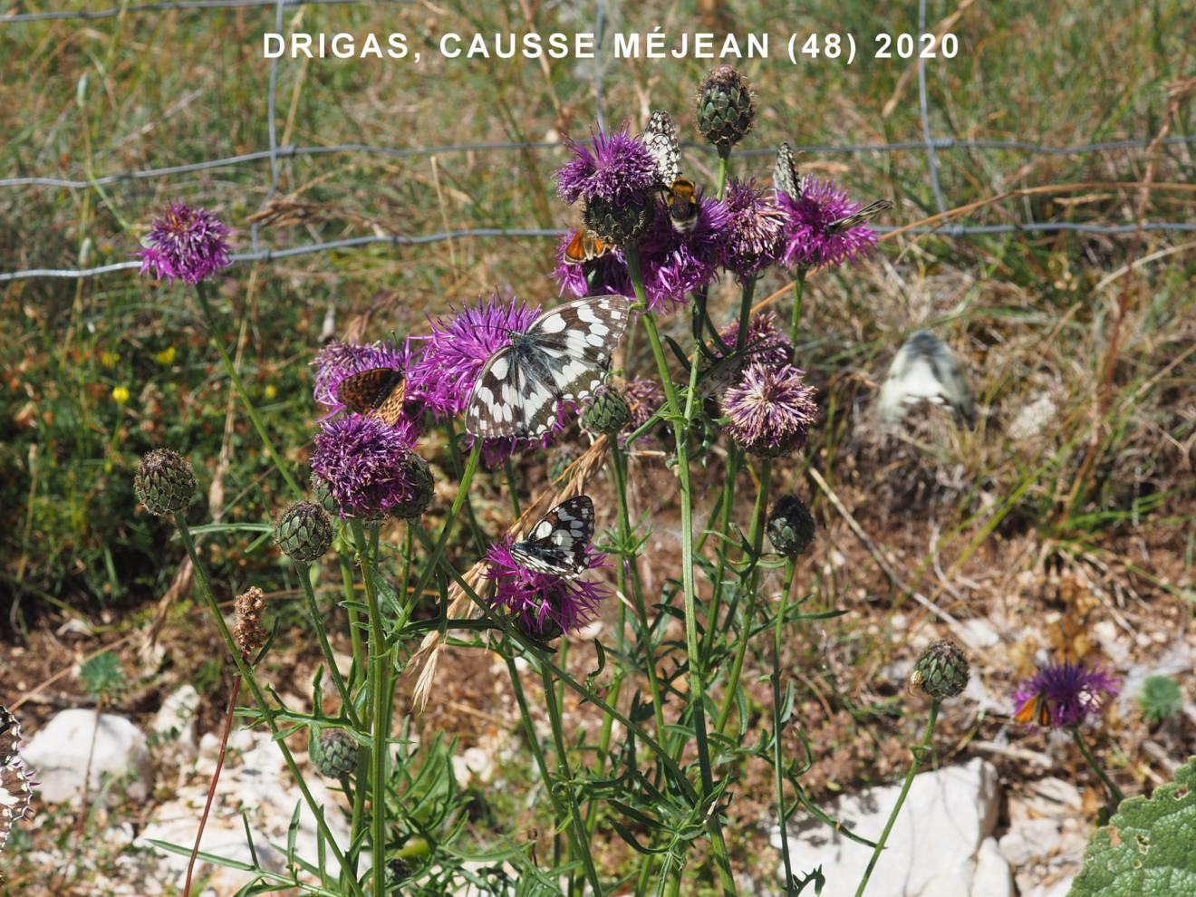 Knapweed, Greater