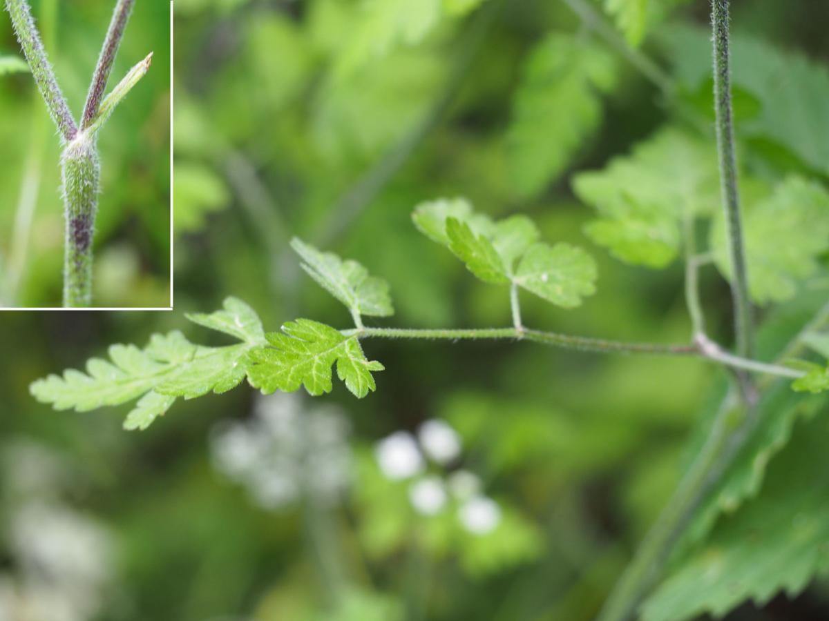 Chervil, Rough leaf