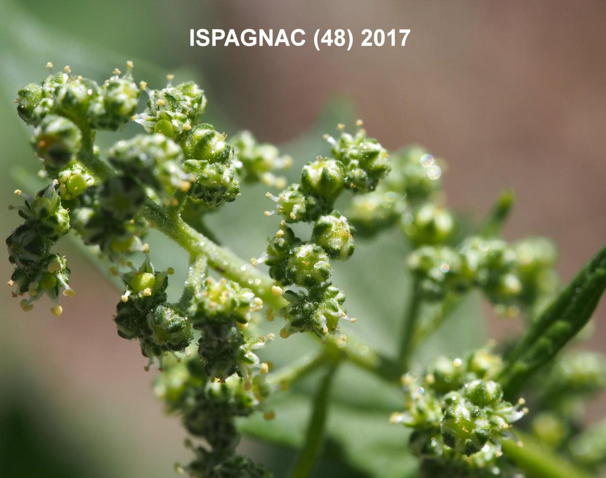 Goosefoot, Maple-leaved flower