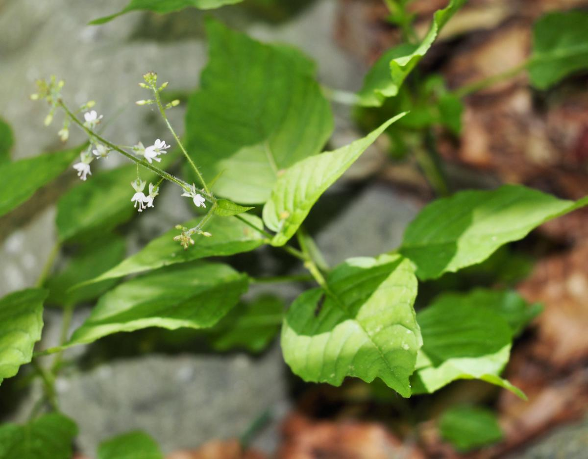 Enchanter's nightshade plant