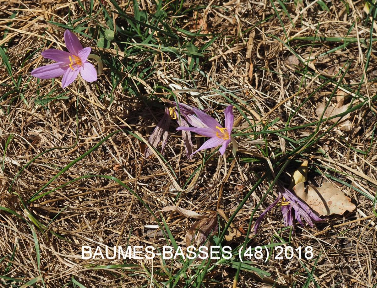 Autumn Crocus (of Naples) plant