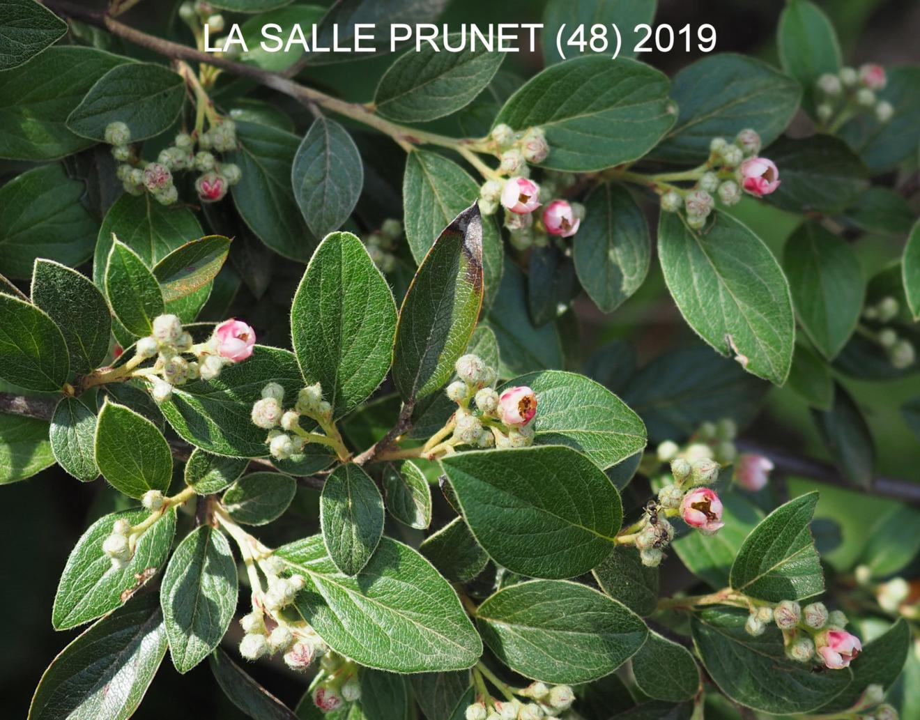 Cotoneaster, Franchet`s