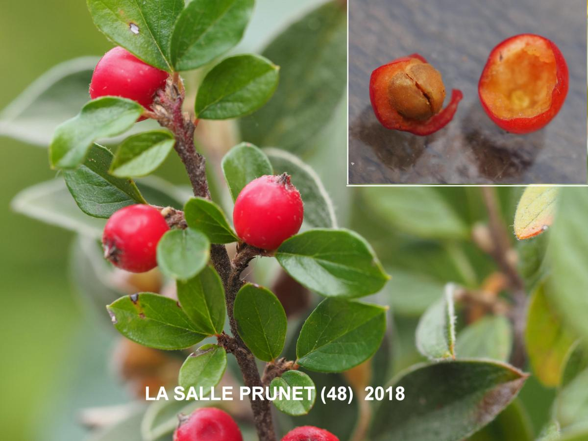 Cotoneaster, Rockspray fruit