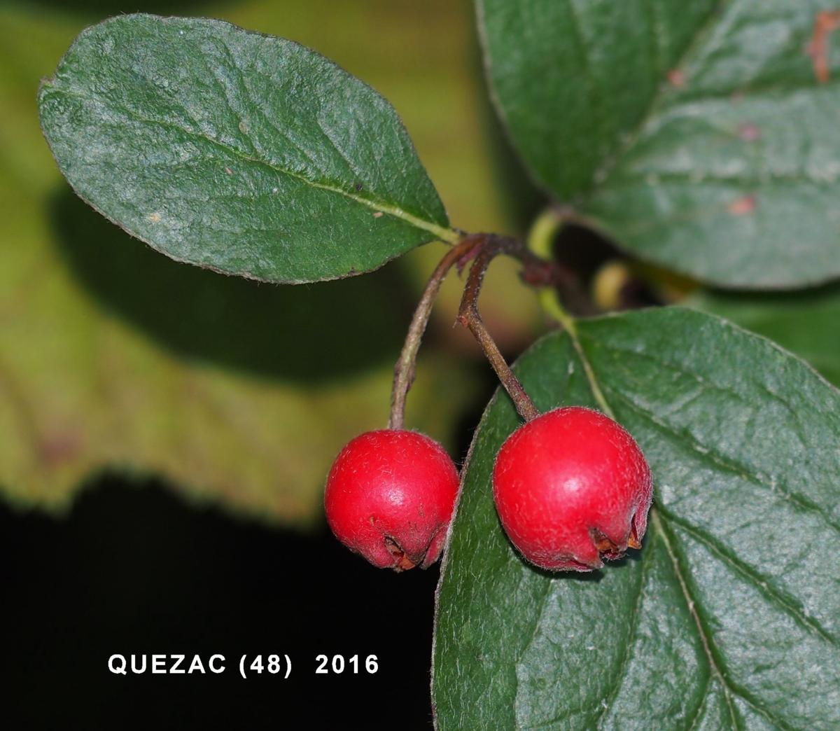 Cotoneaster, Wild fruit