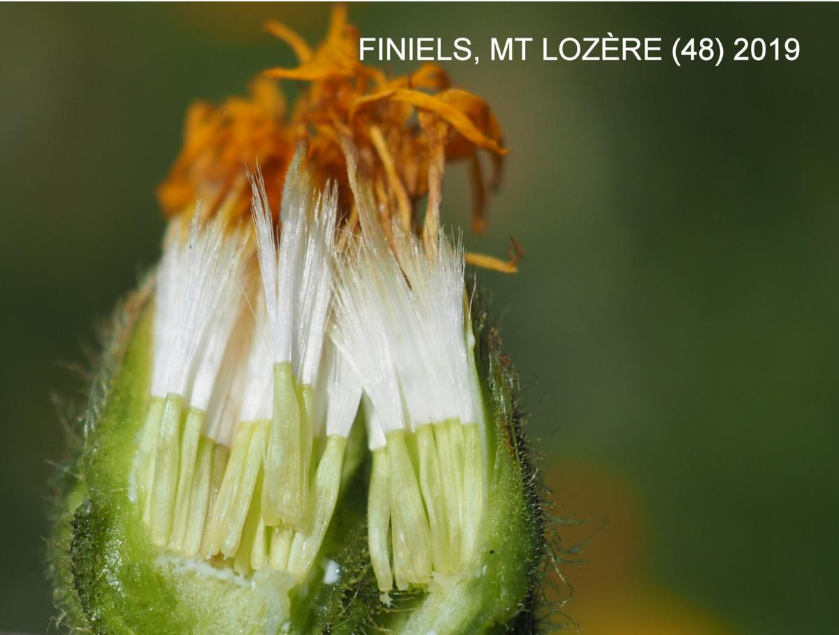 Hawk's-beard, Large-flowered fruit