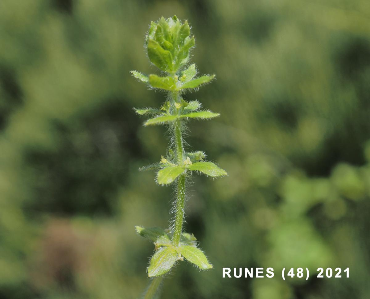 Crosswort, [Piedmont] plant