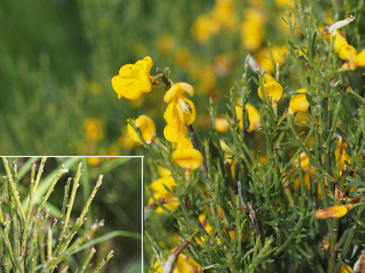Broom, Purgative leaf