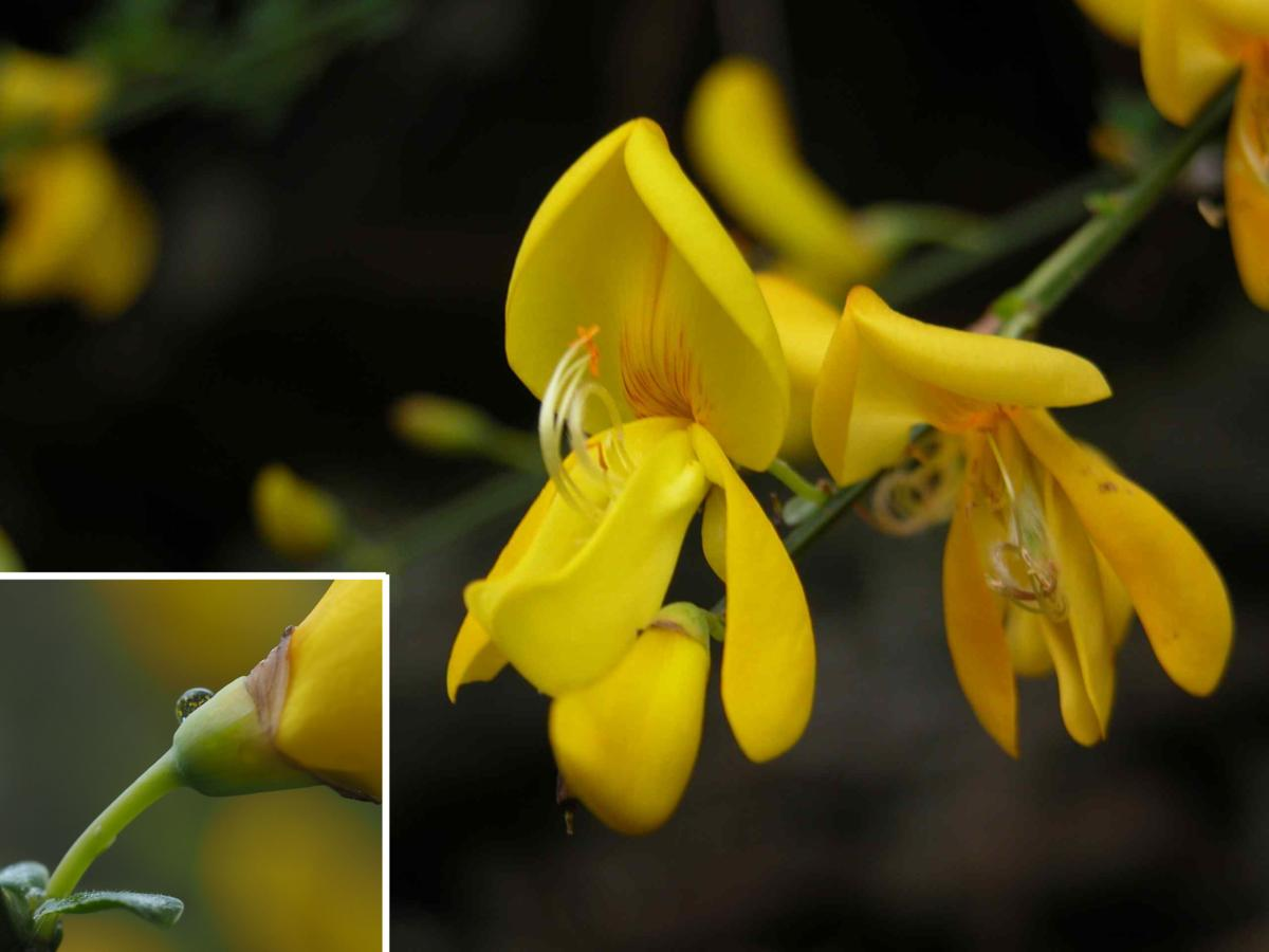 Broom, Common flower
