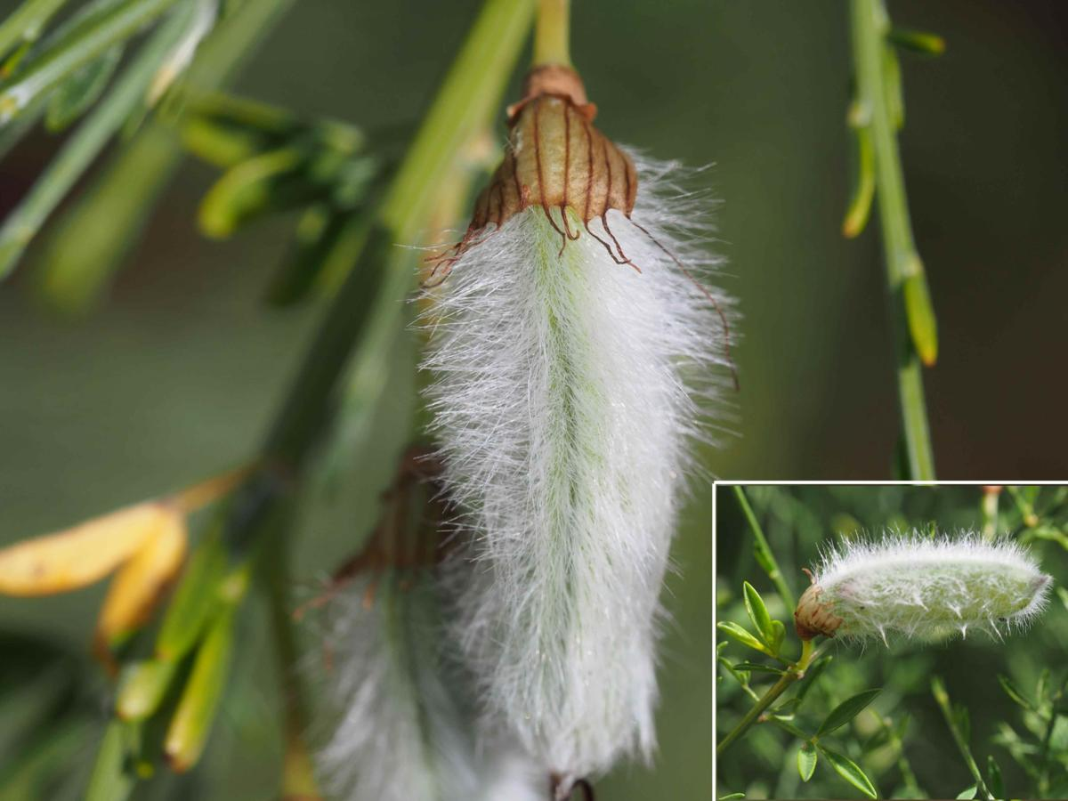 Broom, Portugese fruit