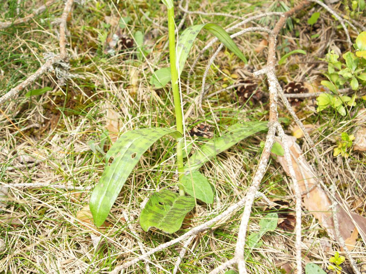 Orchid, Spotted leaf