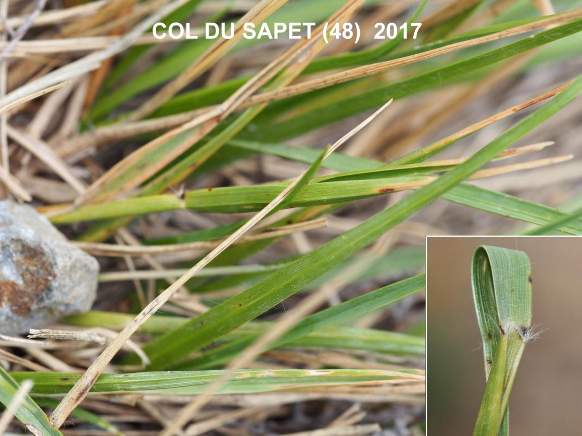 Heath Grass, Small leaf