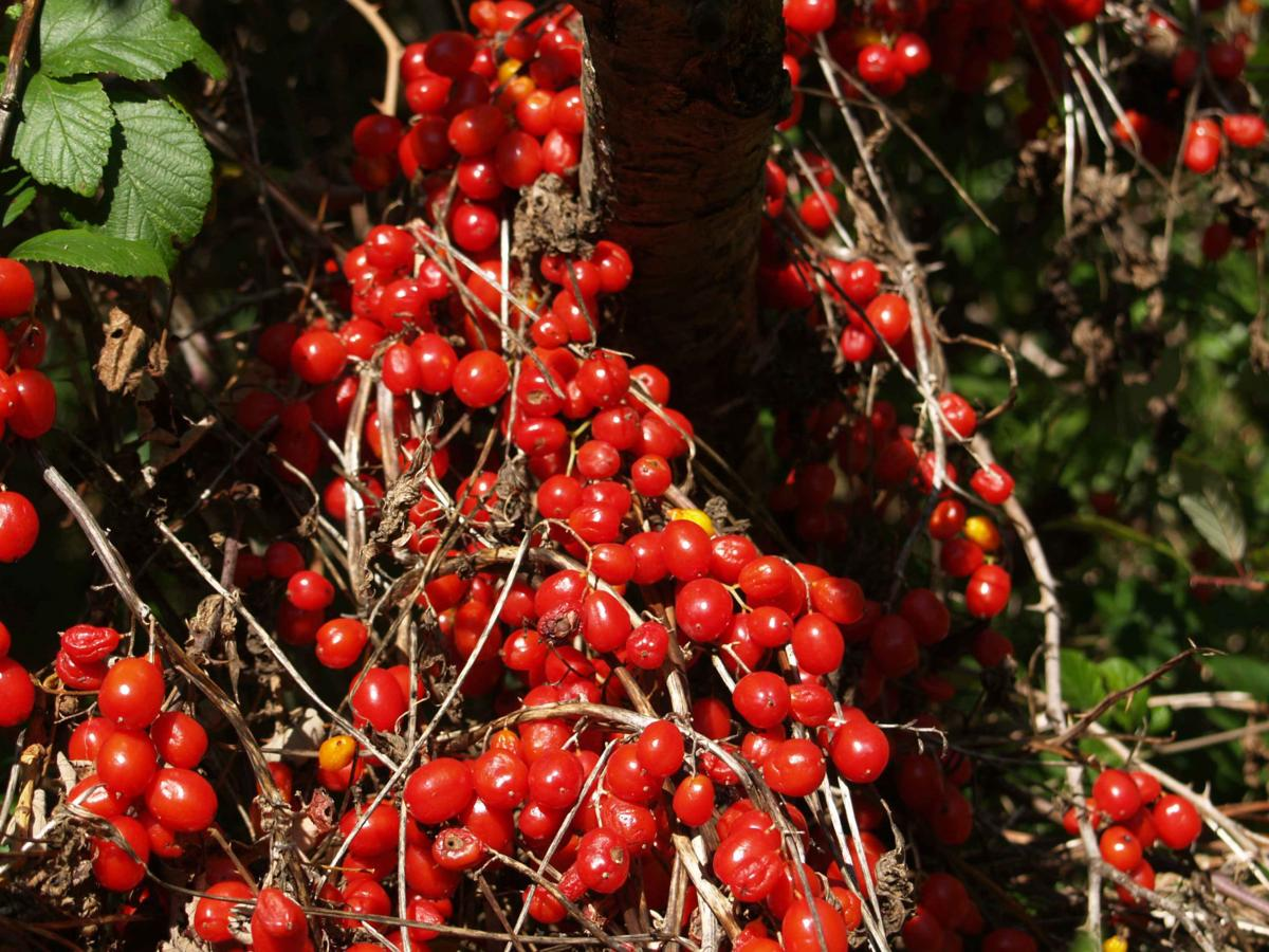 Bryony, Black fruit