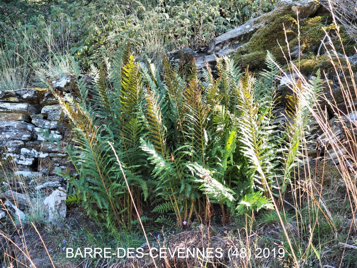 Fern, Mountain Male plant